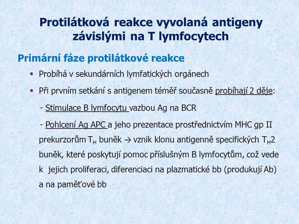 Protilátková reakce vyvolaná antigeny závislými na T lymfocytech Primární fáze protilátkové reakce  Probíhá v sekundárních lymfatických orgánech  Při prvním setkání s antigenem téměř současně probíhají 2 děje: - Stimulace B lymfocytu vazbou Ag na BCR - Pohlcení Ag APC a jeho prezentace prostřednictvím MHC gp II prekurzorům T H buněk → vznik klonu antigenně specifických T H 2 buněk, které poskytují pomoc příslušným B lymfocytům, což vede k jejich proliferaci, diferenciaci na plazmatické bb (produkují Ab) a na paměťové bb