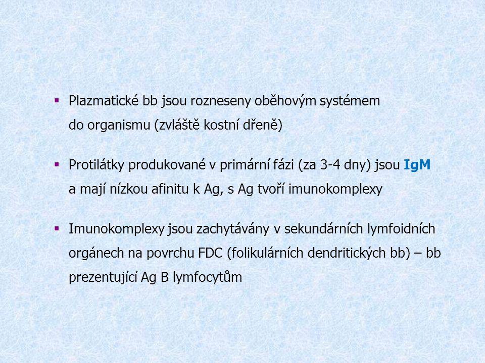  Plazmatické bb jsou rozneseny oběhovým systémem do organismu (zvláště kostní dřeně)  Protilátky produkované v primární fázi (za 3-4 dny) jsou IgM a mají nízkou afinitu k Ag, s Ag tvoří imunokomplexy  Imunokomplexy jsou zachytávány v sekundárních lymfoidních orgánech na povrchu FDC (folikulárních dendritických bb) – bb prezentující Ag B lymfocytům