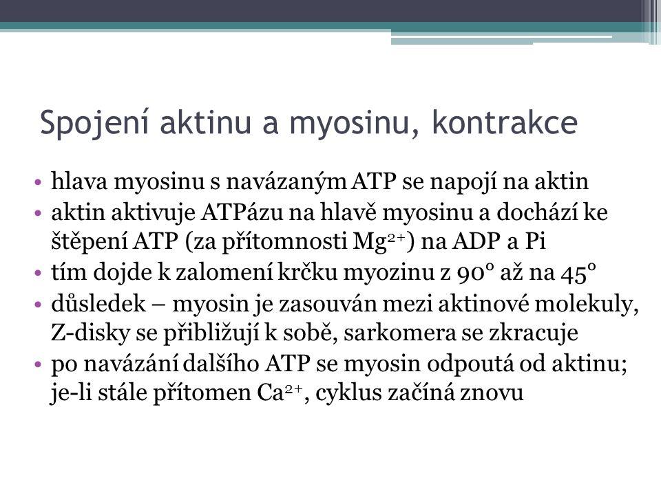 Spojení aktinu a myosinu, kontrakce hlava myosinu s navázaným ATP se napojí na aktin aktin aktivuje ATPázu na hlavě myosinu a dochází ke štěpení ATP (za přítomnosti Mg 2+ ) na ADP a Pi tím dojde k zalomení krčku myozinu z 90° až na 45° důsledek – myosin je zasouván mezi aktinové molekuly, Z-disky se přibližují k sobě, sarkomera se zkracuje po navázání dalšího ATP se myosin odpoutá od aktinu; je-li stále přítomen Ca 2+, cyklus začíná znovu