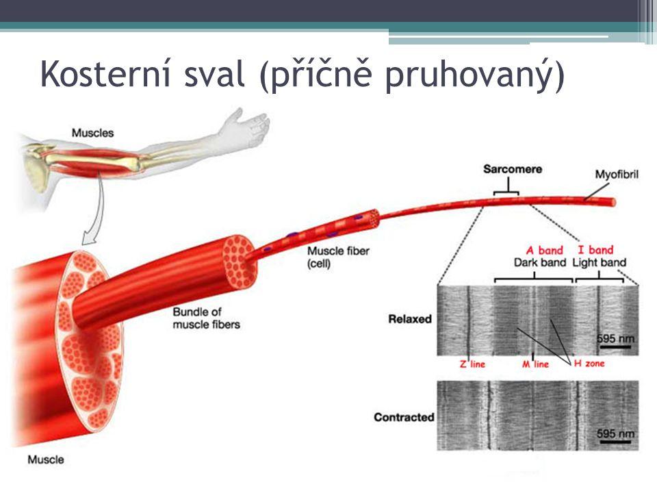 Kosterní sval (příčně pruhovaný)