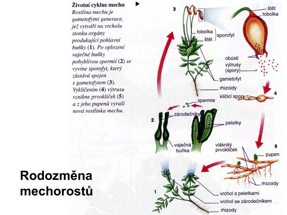 Oddělení: Mechorosty (Bryophyta) dělí se na tři třídy 1.Játrovky (Marchantiopsida) –stélka lupenitá nebo rozlišená na lodyžku a lístky –sporofyt zelený nebo nezelený –jiný tvar štětu a tobolky než u mechů 2.Hlevíky (Anthoceropsida) –malá skupina mechorostů s lupenitou stélkou 3.Mechy (Bryopsida)