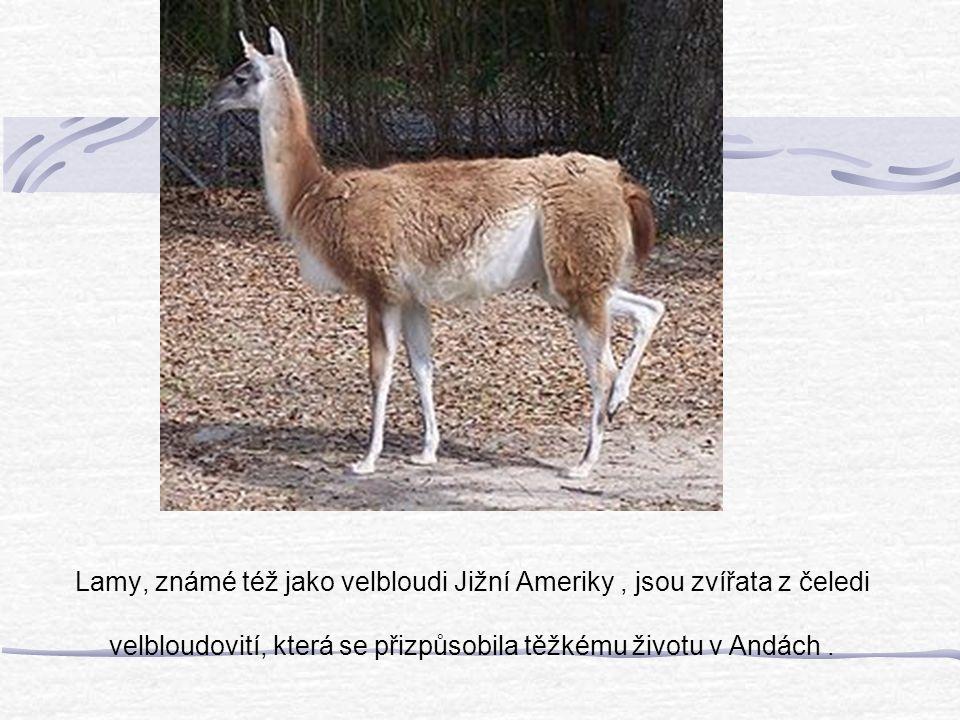Lamy, známé též jako velbloudi Jižní Ameriky, jsou zvířata z čeledi velbloudovití, která se přizpůsobila těžkému životu v Andách.