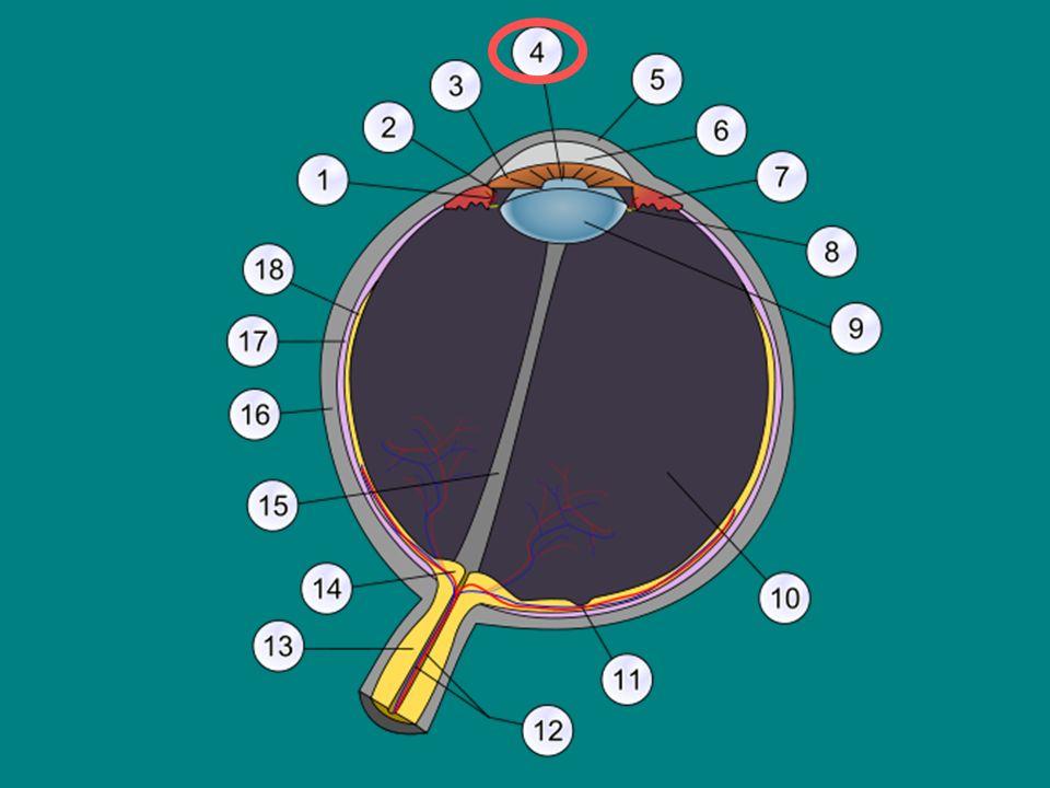 BĚLIMA vnější vrstva oka (bílý vazivový obal oka udržující jeho tvar)