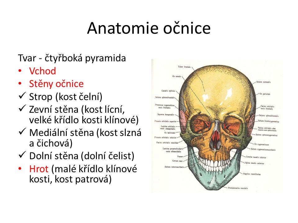 Anatomie očnice Tvar - čtyřboká pyramida Vchod Stěny očnice Strop (kost čelní) Zevní stěna (kost lícní, velké křídlo kosti klínové) Mediální stěna (ko