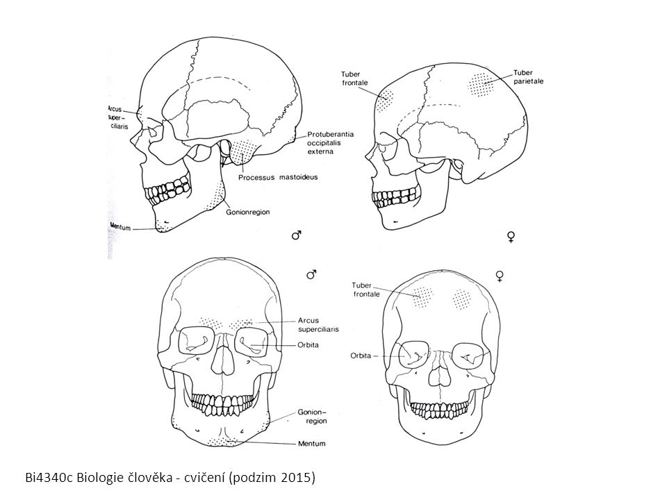 Bi4340c Biologie člověka - cvičení (podzim 2015)