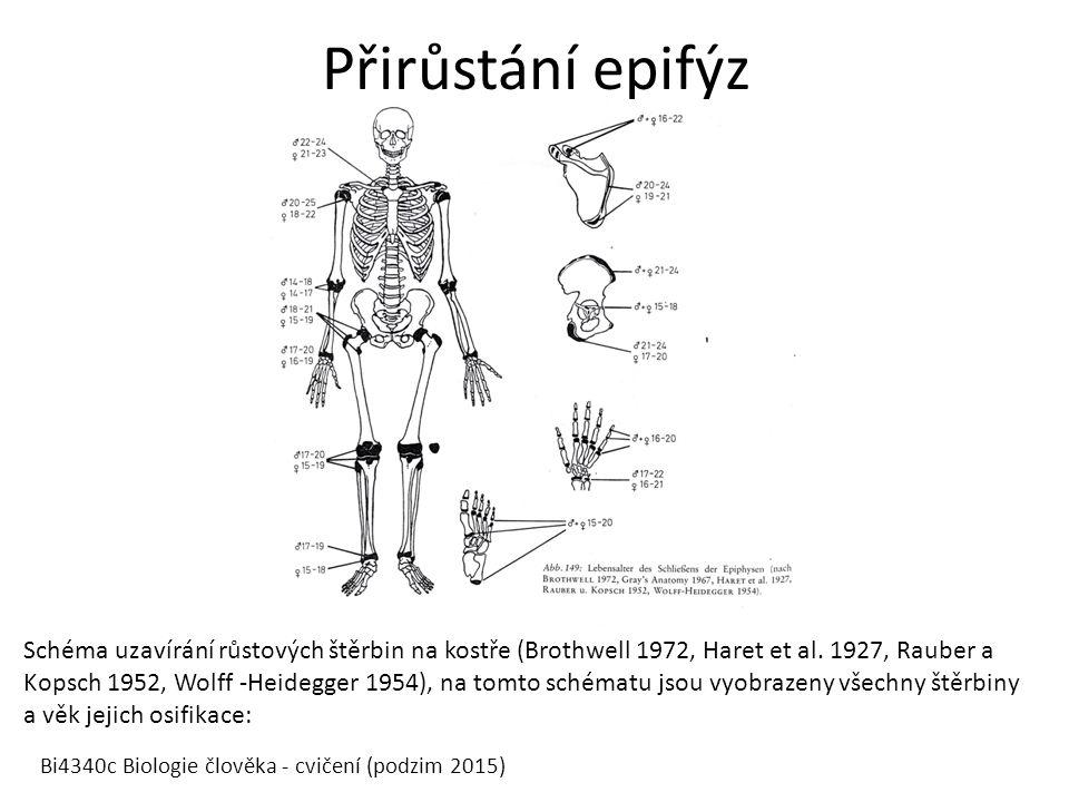 Přirůstání epifýz Bi4340c Biologie člověka - cvičení (podzim 2015) Schéma uzavírání růstových štěrbin na kostře (Brothwell 1972, Haret et al. 1927, Ra