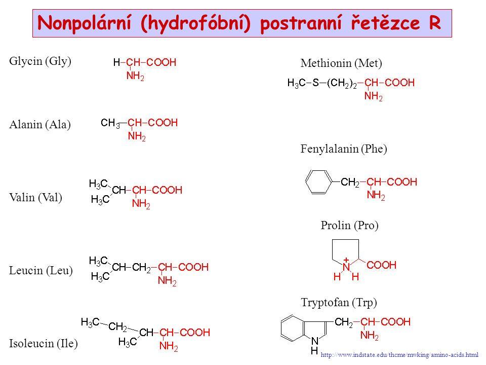 Glycin (Gly) Alanin (Ala) Valin (Val) Leucin (Leu) Isoleucin (Ile) Nonpolární (hydrofóbní) postranní řetězce R Prolin (Pro) Tryptofan (Trp) Fenylalanin (Phe) Methionin (Met) http://www.indstate.edu/thcme/mwking/amino-acids.html