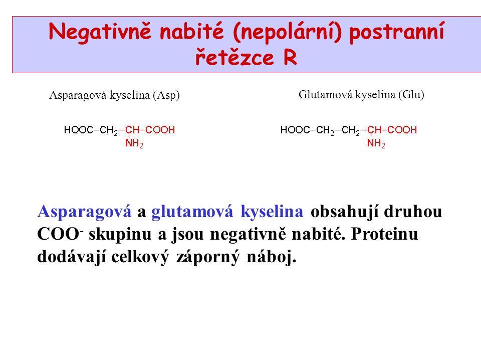 Asparagová kyselina (Asp) Glutamová kyselina (Glu) Negativně nabité (nepolární) postranní řetězce R Asparagová a glutamová kyselina obsahují druhou COO - skupinu a jsou negativně nabité.
