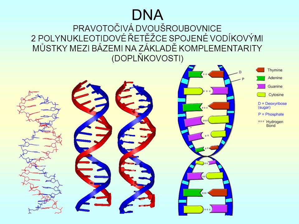 DNA PRAVOTOČIVÁ DVOUŠROUBOVNICE 2 POLYNUKLEOTIDOVÉ ŘETĚŽCE SPOJENÉ VODÍKOVÝMI MŮSTKY MEZI BÁZEMI NA ZÁKLADĚ KOMPLEMENTARITY (DOPLŇKOVOSTI)