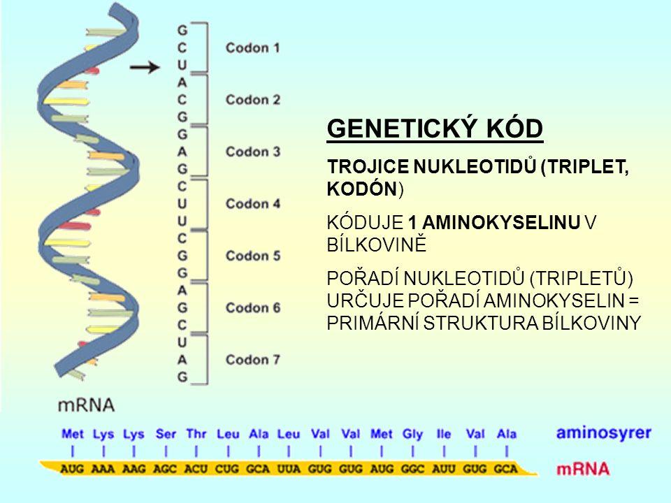 GENETICKÝ KÓD TROJICE NUKLEOTIDŮ (TRIPLET, KODÓN) KÓDUJE 1 AMINOKYSELINU V BÍLKOVINĚ POŘADÍ NUKLEOTIDŮ (TRIPLETŮ) URČUJE POŘADÍ AMINOKYSELIN = PRIMÁRNÍ STRUKTURA BÍLKOVINY
