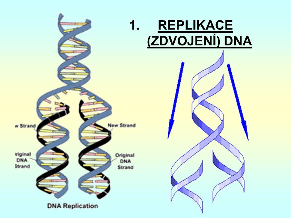 1. REPLIKACE (ZDVOJENÍ) DNA
