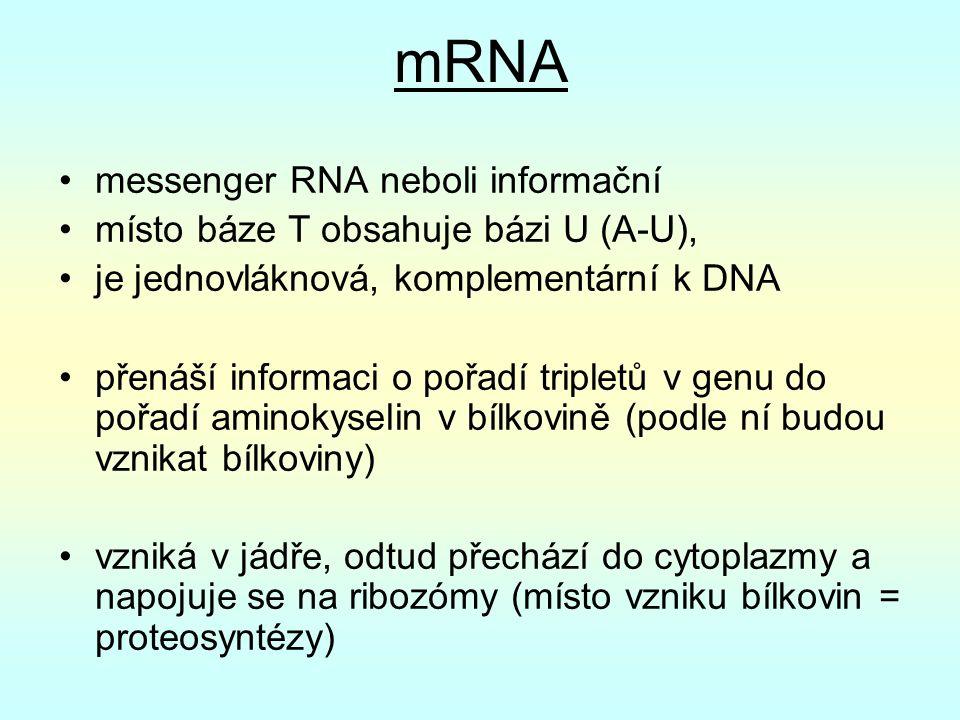 mRNA messenger RNA neboli informační místo báze T obsahuje bázi U (A-U), je jednovláknová, komplementární k DNA přenáší informaci o pořadí tripletů v genu do pořadí aminokyselin v bílkovině (podle ní budou vznikat bílkoviny) vzniká v jádře, odtud přechází do cytoplazmy a napojuje se na ribozómy (místo vzniku bílkovin = proteosyntézy)