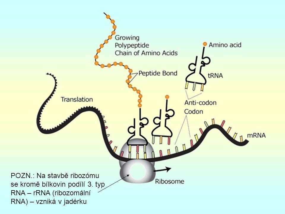 POZN.: Na stavbě ribozómu se kromě bílkovin podílí 3.
