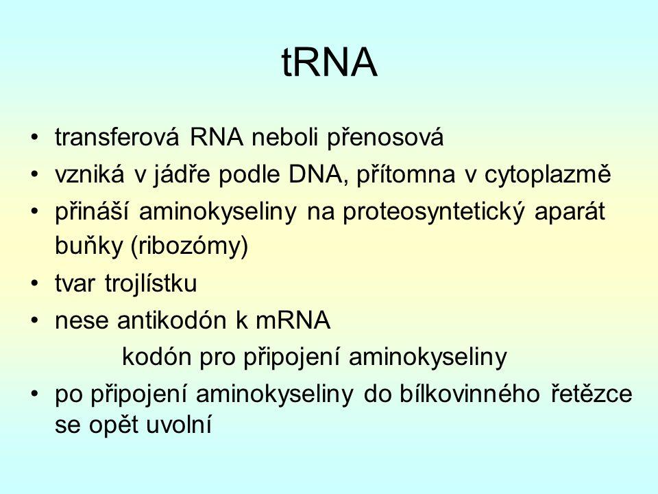 tRNA transferová RNA neboli přenosová vzniká v jádře podle DNA, přítomna v cytoplazmě přináší aminokyseliny na proteosyntetický aparát buňky (ribozómy) tvar trojlístku nese antikodón k mRNA kodón pro připojení aminokyseliny po připojení aminokyseliny do bílkovinného řetězce se opět uvolní