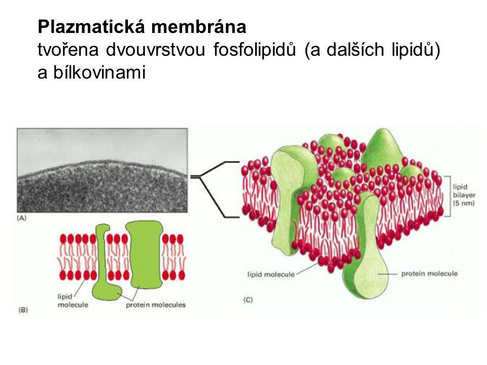 Plazmatická membrána tvořena dvouvrstvou fosfolipidů (a dalších lipidů) a bílkovinami