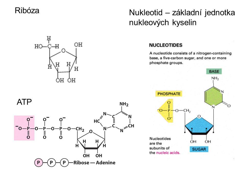 Ribóza ATP Nukleotid – základní jednotka nukleových kyselin