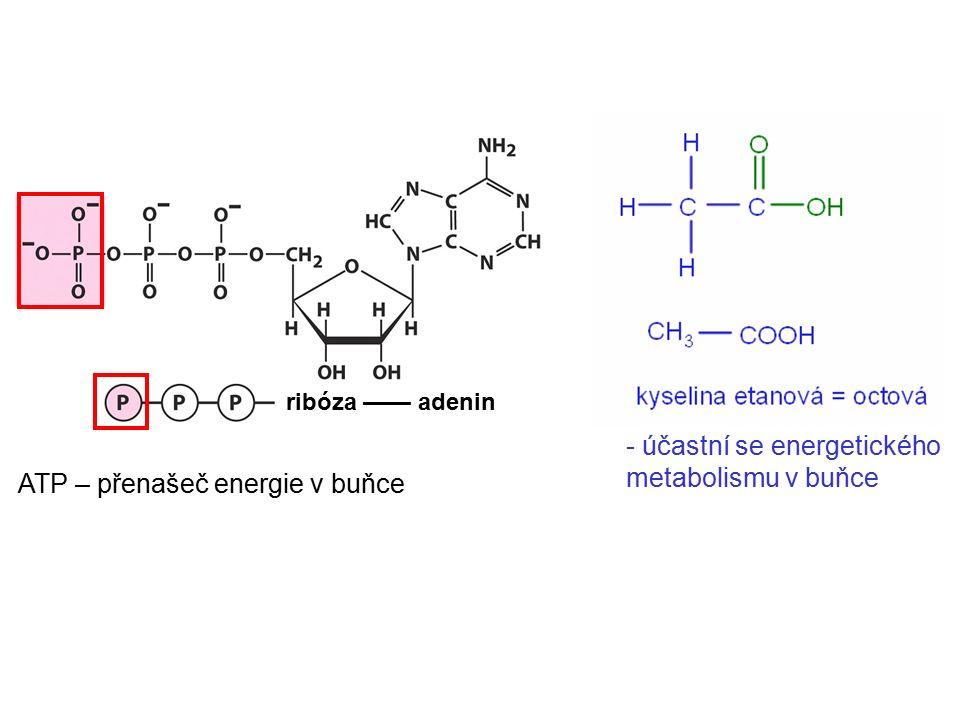 ATP – přenašeč energie v buňce - účastní se energetického metabolismu v buňce ribóza —— adenin