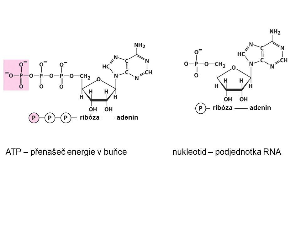 ATP – přenašeč energie v buňce nukleotid – podjednotka RNA ribóza —— adenin