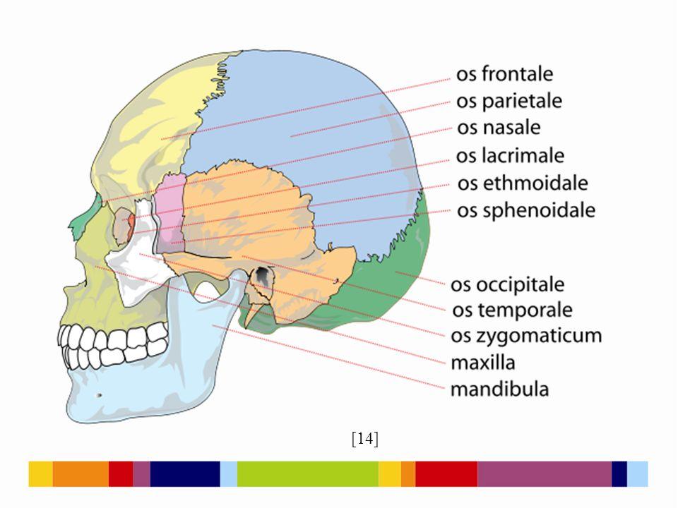 Neurocranium [4] Os frontale Os parietale Os sphenoidale Os temporale Os occipitale Os ethmoidale