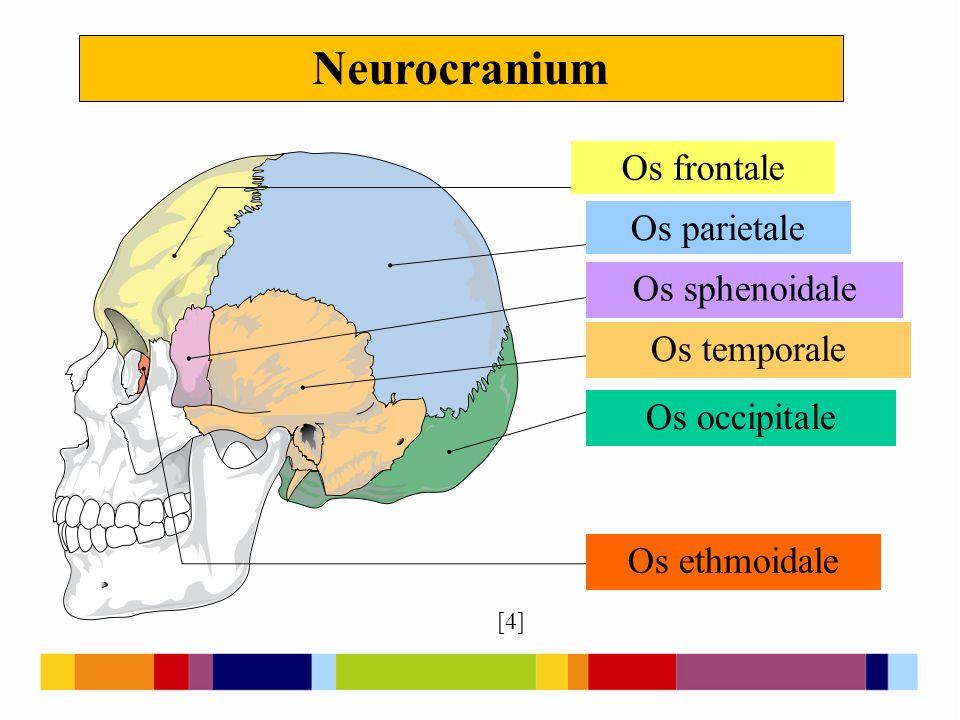 Os frontale [1] [3] 19th Century skull showing sword-blade trauma on frontal bone.
