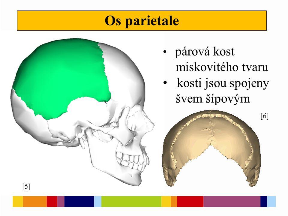 Os occipitale [7] [8] v její spodní části je velký otvor týlní, který spojuje lebeční dutinu s páteřním kanálem po stranách týlního otvoru jsou kloubní hrboly pro spojení s atlasem