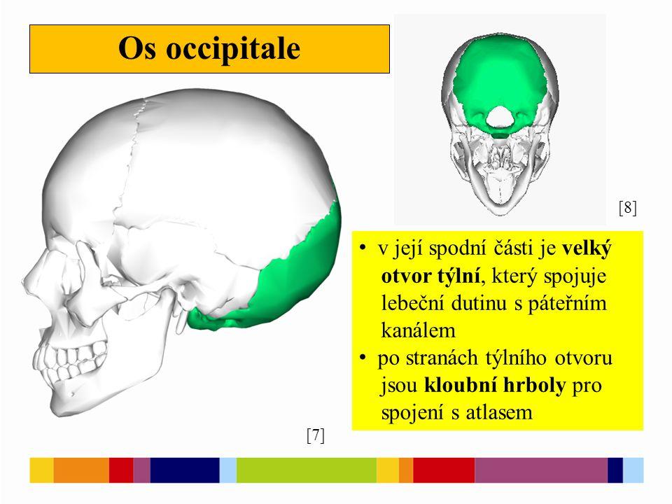 Os occipitale [7] [8] v její spodní části je velký otvor týlní, který spojuje lebeční dutinu s páteřním kanálem po stranách týlního otvoru jsou kloubn