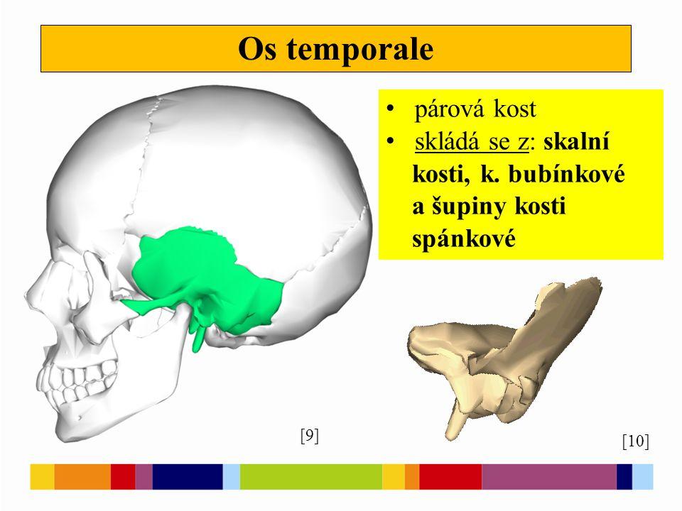 Os sphenoidale [11] velmi členitá kost vklíněná uprostřed lebeční báze [17]
