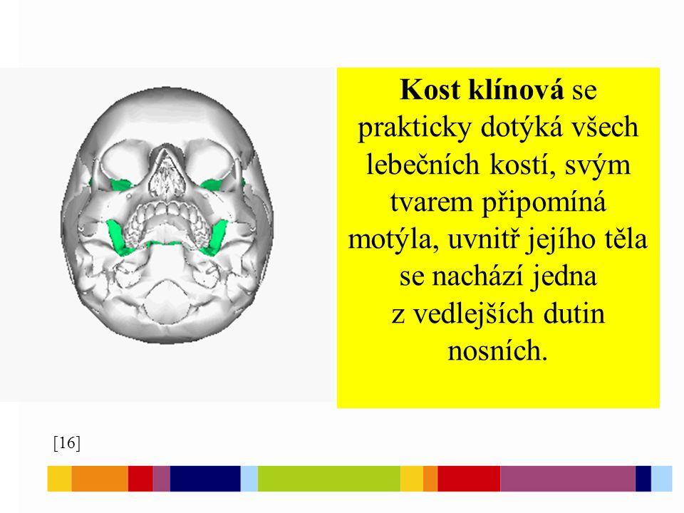 Kost klínová se prakticky dotýká všech lebečních kostí, svým tvarem připomíná motýla, uvnitř jejího těla se nachází jedna z vedlejších dutin nosních.