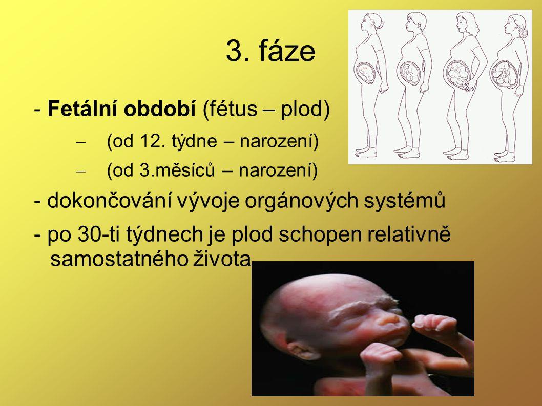3. fáze - Fetální období (fétus – plod) – (od 12. týdne – narození) – (od 3.měsíců – narození) - dokončování vývoje orgánových systémů - po 30-ti týdn