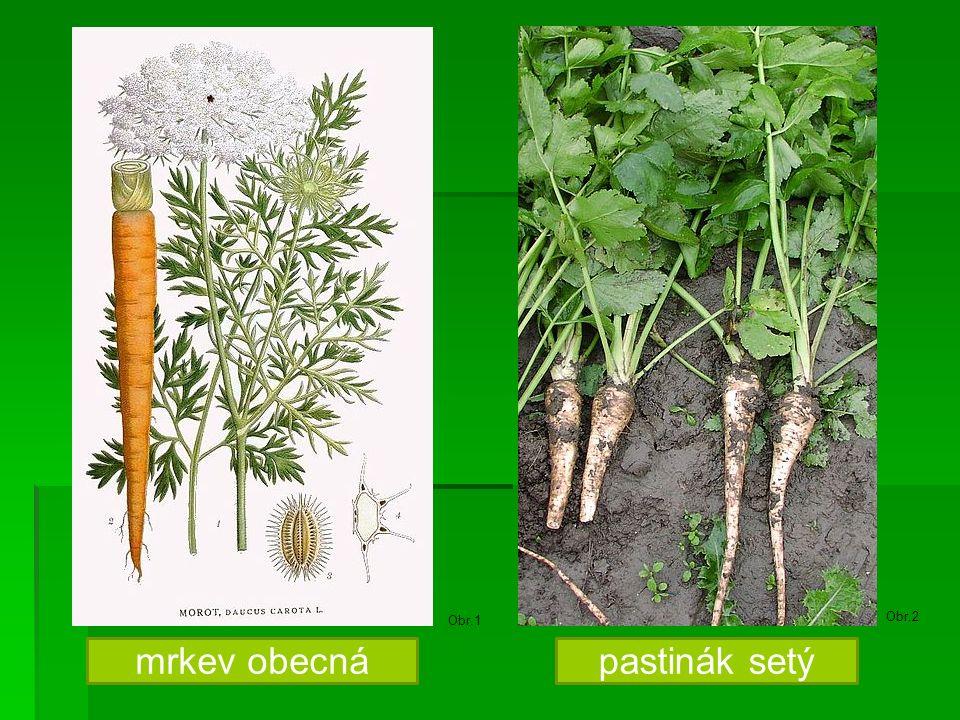 Naťová zelenina  PETRŽEL KADEŘAVÁ  KOPR VONNÝ  - žluté květy  - koření, léčivka petržel kadeřavá Obr.3