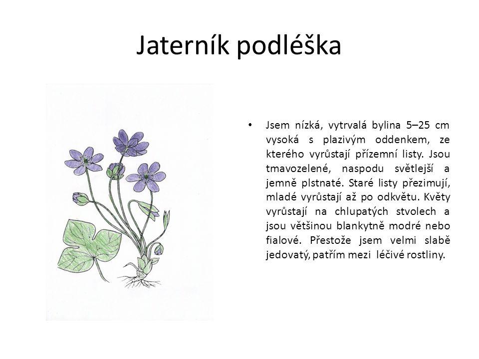 Jaterník podléška Jsem nízká, vytrvalá bylina 5–25 cm vysoká s plazivým oddenkem, ze kterého vyrůstají přízemní listy.