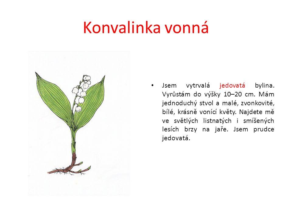 Konvalinka vonná Jsem vytrvalá jedovatá bylina. Vyrůstám do výšky 10–20 cm.
