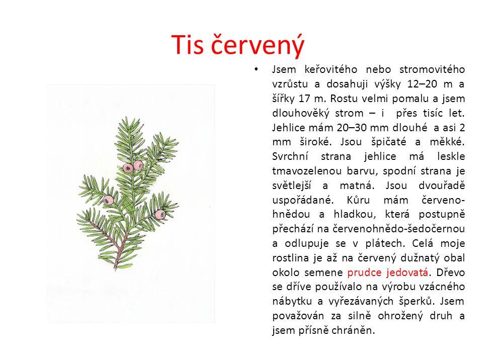 Tis červený Jsem keřovitého nebo stromovitého vzrůstu a dosahuji výšky 12–20 m a šířky 17 m.