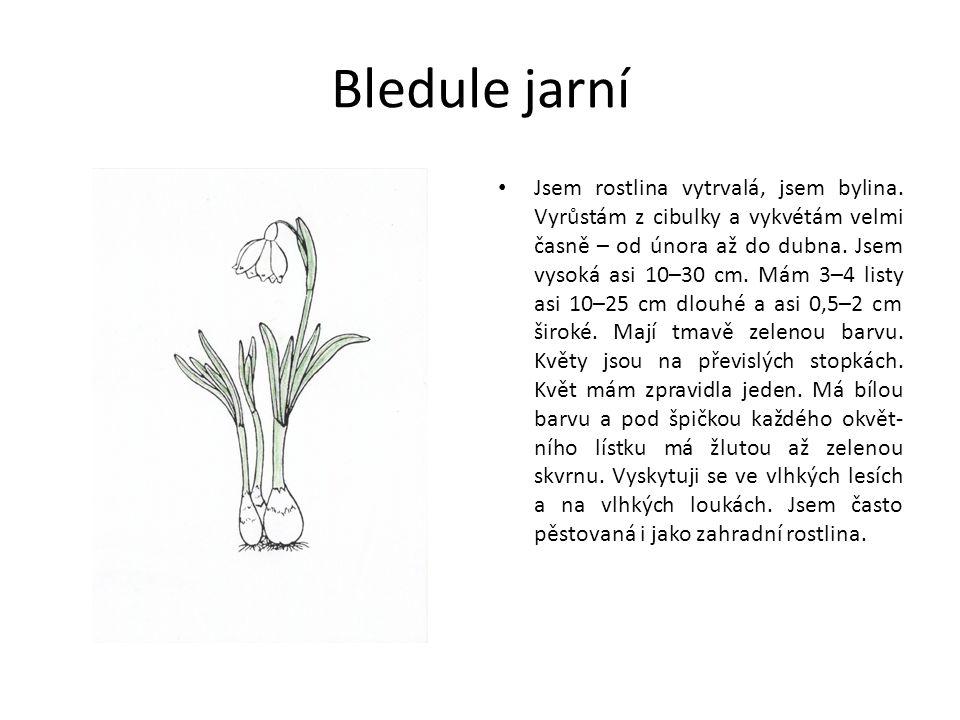 Bledule jarní Jsem rostlina vytrvalá, jsem bylina.