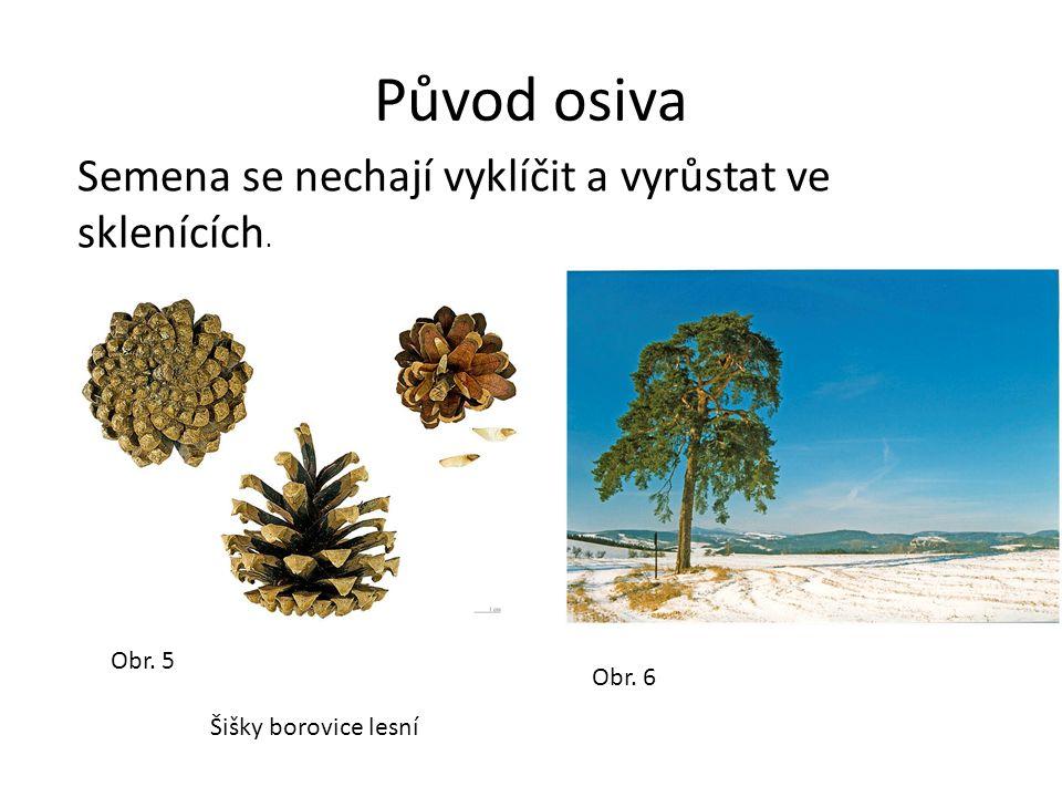 Lesní školky Dvouleté semenáče se přesazují do školek. Obr. 7