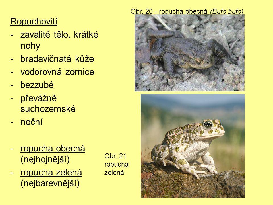 Ropuchovití -zavalité tělo, krátké nohy -bradavičnatá kůže -vodorovná zornice -bezzubé -převážně suchozemské -noční -ropucha obecná (nejhojnější) -ropucha zelená (nejbarevnější) Obr.