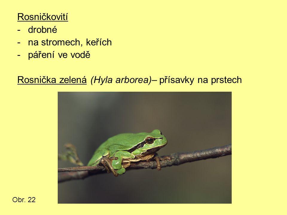Rosničkovití -drobné -na stromech, keřích -páření ve vodě Rosnička zelená (Hyla arborea)– přísavky na prstech Obr. 22