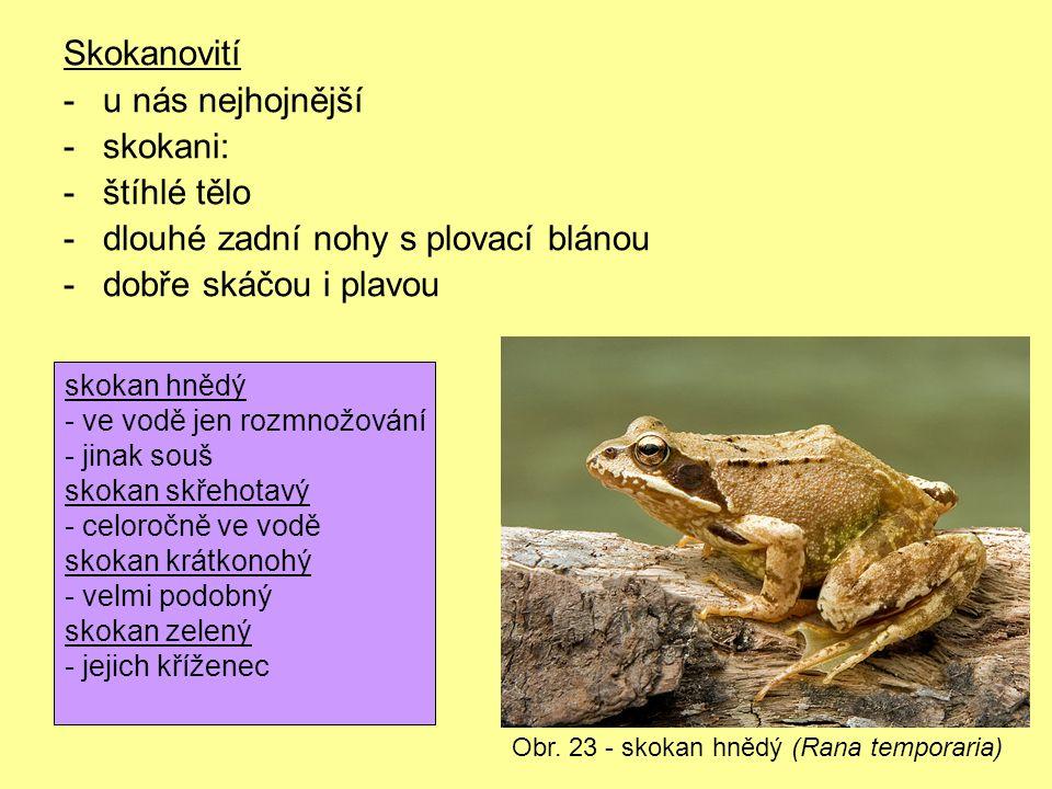 Skokanovití -u nás nejhojnější -skokani: -štíhlé tělo -dlouhé zadní nohy s plovací blánou -dobře skáčou i plavou Obr. 23 - skokan hnědý (Rana temporar
