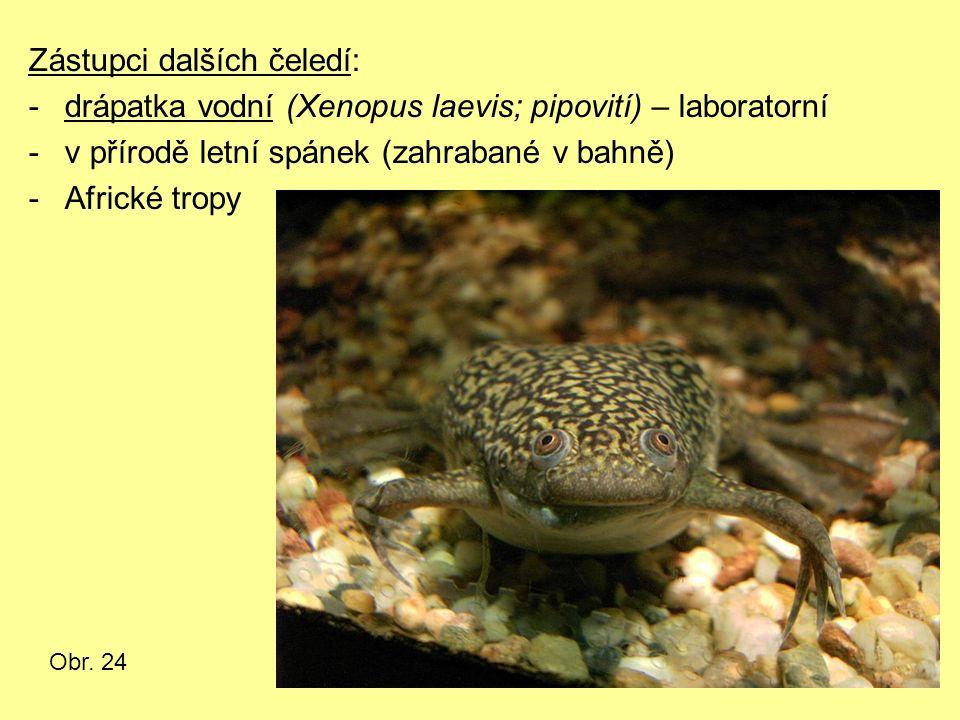 Zástupci dalších čeledí: -drápatka vodní (Xenopus laevis; pipovití) – laboratorní -v přírodě letní spánek (zahrabané v bahně) -Africké tropy Obr. 24