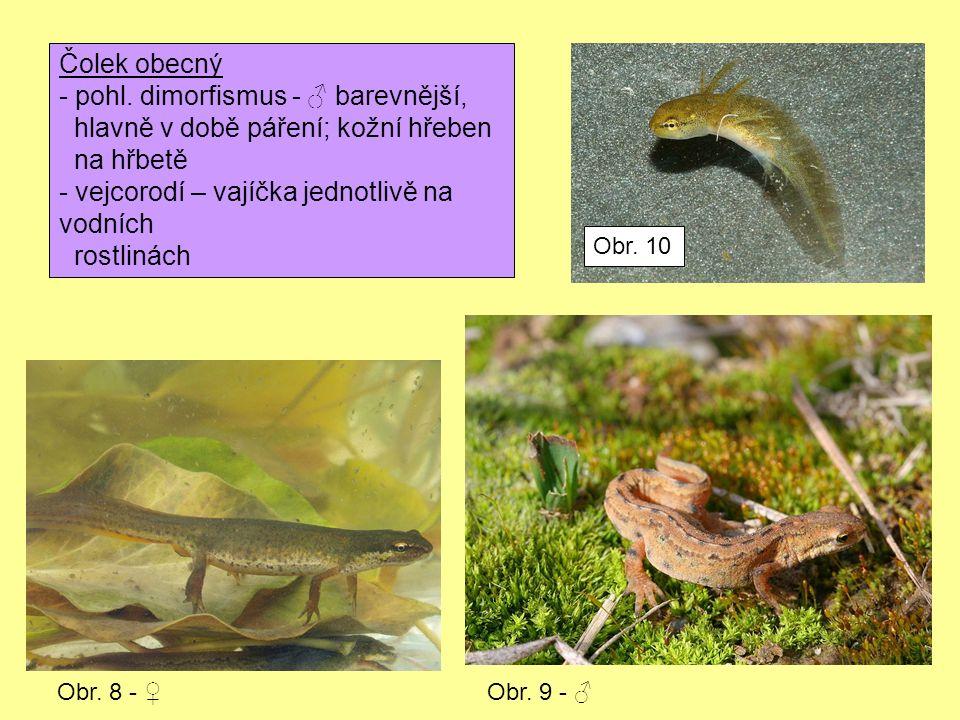 Čolek obecný - pohl. dimorfismus - ♂ barevnější, hlavně v době páření; kožní hřeben na hřbetě - vejcorodí – vajíčka jednotlivě na vodních rostlinách O