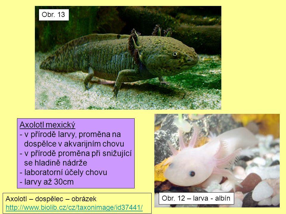 Obr. 12 – larva - albín Obr. 13 Axolotl mexický - v přírodě larvy, proměna na dospělce v akvarijním chovu - v přírodě proměna při snižující se hladině