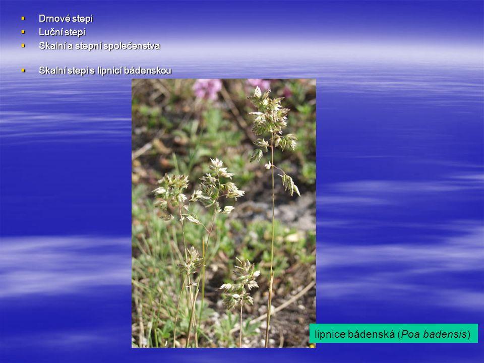  Drnové stepi  Luční stepi  Skalní a stepní společenstva  Skalní stepi s lipnicí bádenskou lipnice bádenská (Poa badensis)