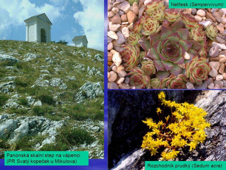 Panonská skalní step na vápenci (PR Svatý kopeček u Mikulova) Netřesk (Sempervivum) Rozchodník prudký (Sedum acre)