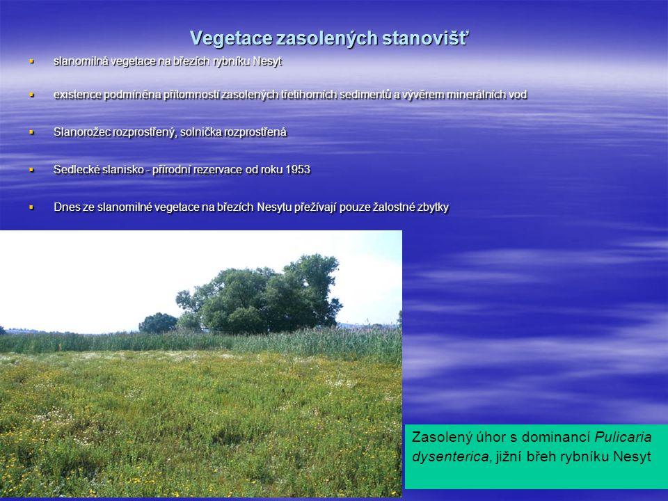 Vegetace zasolených stanovišť  slanomilná vegetace na březích rybníku Nesyt  existence podmíněna přítomností zasolených třetihorních sedimentů a vývěrem minerálních vod  Slanorožec rozprostřený, solnička rozprostřená  Sedlecké slanisko - přírodní rezervace od roku 1953  Dnes ze slanomilné vegetace na březích Nesytu přežívají pouze žalostné zbytky Zasolený úhor s dominancí Pulicaria dysenterica, jižní břeh rybníku Nesyt