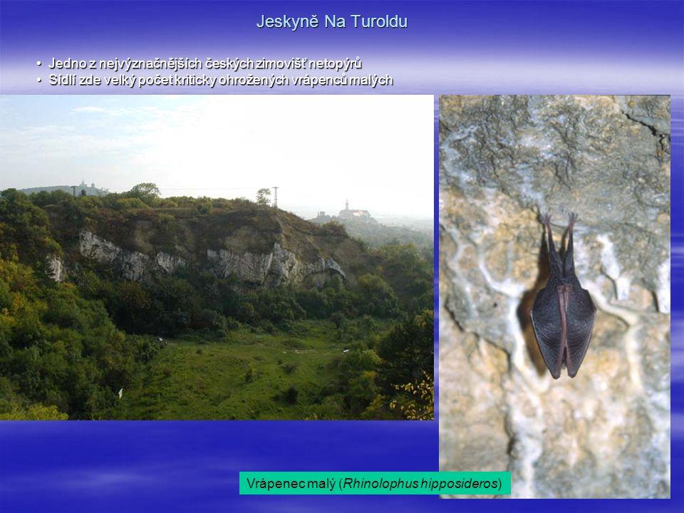 Jeskyně Na Turoldu Jedno z nejvýznačnějších českých zimovišť netopýrů Jedno z nejvýznačnějších českých zimovišť netopýrů Sídlí zde velký počet kriticky ohrožených vrápenců malých Sídlí zde velký počet kriticky ohrožených vrápenců malých Vrápenec malý (Rhinolophus hipposideros)