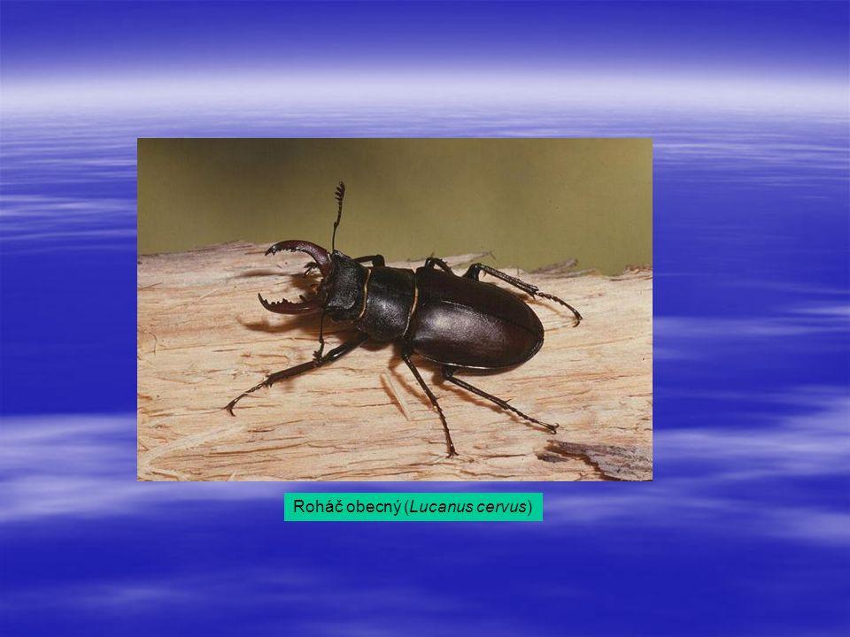 Roháč obecný (Lucanus cervus)