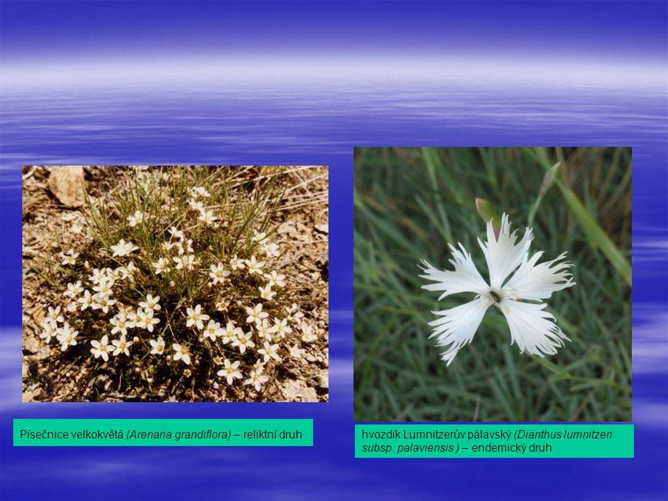 Písečnice velkokvětá (Arenaria grandiflora) – reliktní druh hvozdík Lumnitzerův pálavský (Dianthus lumnitzeri subsp.