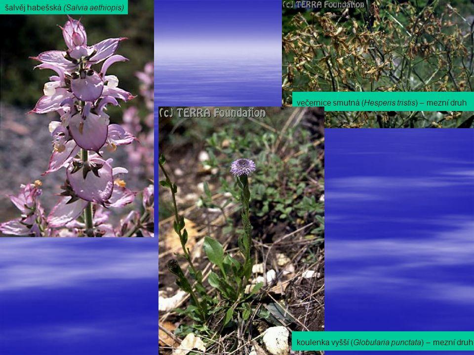 šalvěj habešská (Salvia aethiopis) večernice smutná (Hesperis tristis) – mezní druh koulenka vyšší (Globularia punctata) – mezní druh