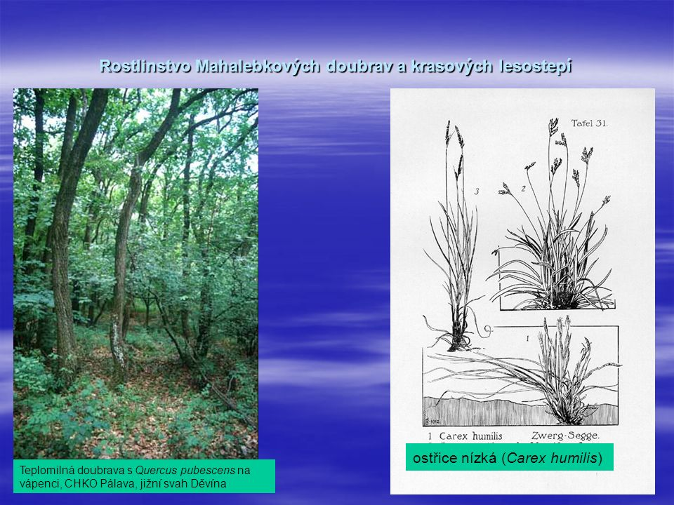 Rostlinstvo Mahalebkových doubrav a krasových lesostepí Teplomilná doubrava s Quercus pubescens na vápenci, CHKO Pálava, jižní svah Děvína ostřice nízká (Carex humilis)