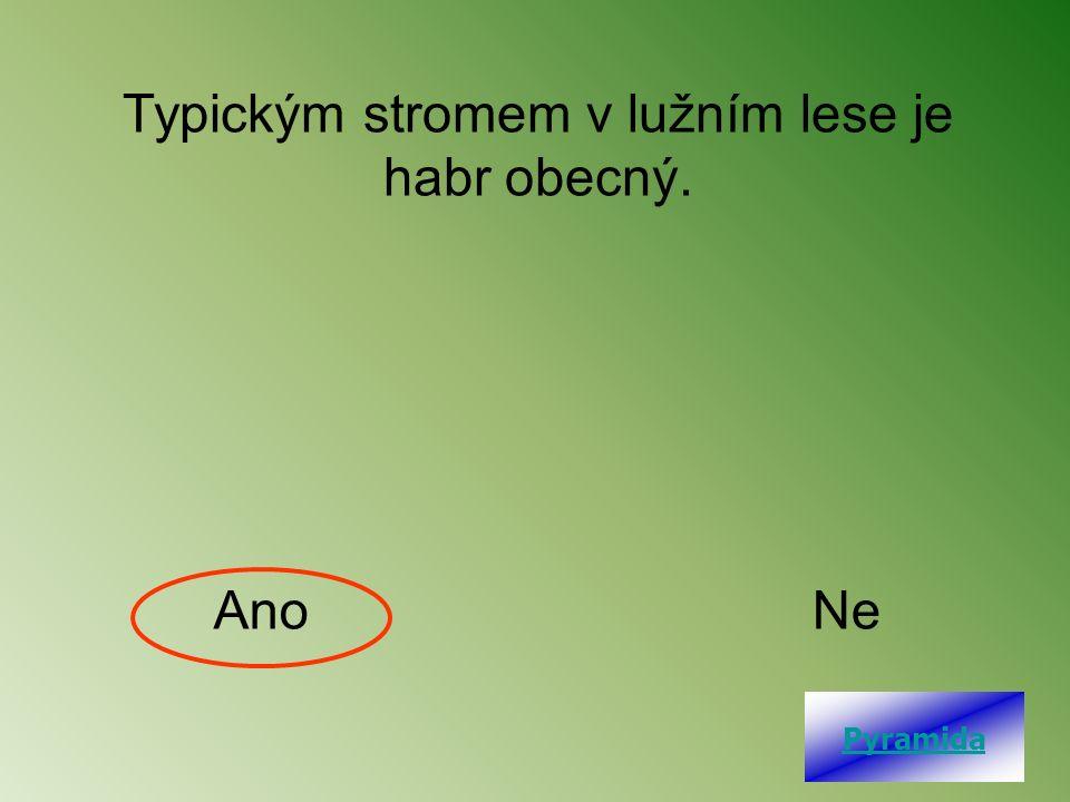 Typickým stromem v lužním lese je habr obecný. AnoNe Pyramida